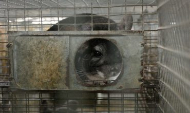 Serbia: animal welfare organisations BANNED from 'public' sessions to consider keeping fur farms