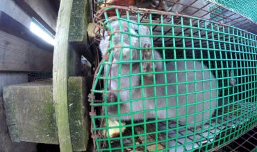 Ireland: mink to be culled and not replaced after Covid-19 mink mutation