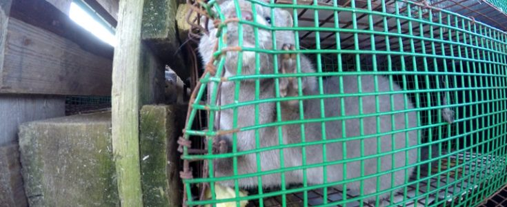Live transport of mink by the fur industry condemned