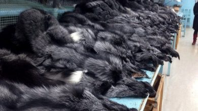 The terrible truth about the fur trade's death toll