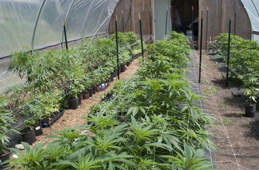 Canada Already Importing Cannabis From Africa!
