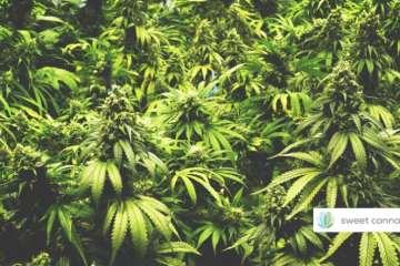 Sweet Cannabis