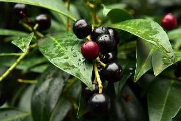 What Makes Mad Mark's Black Cherry Soda Strain So Dank?