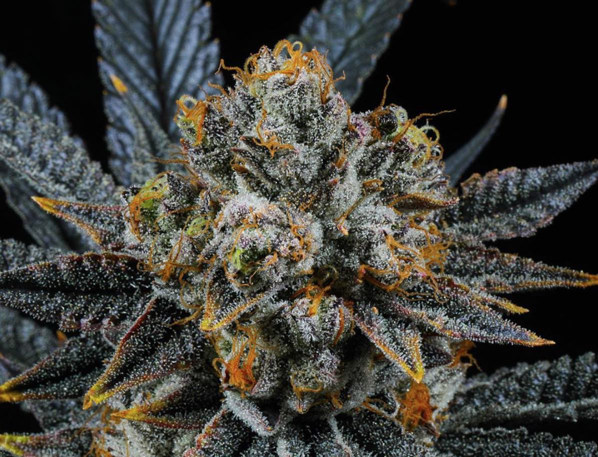 Cannabis Plant Patents: Are Strain Genetics Really That Valuable?