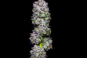 Big Apple Strain: A Balanced Hybrid With Fruity Pie and Whipped Cream Flavors