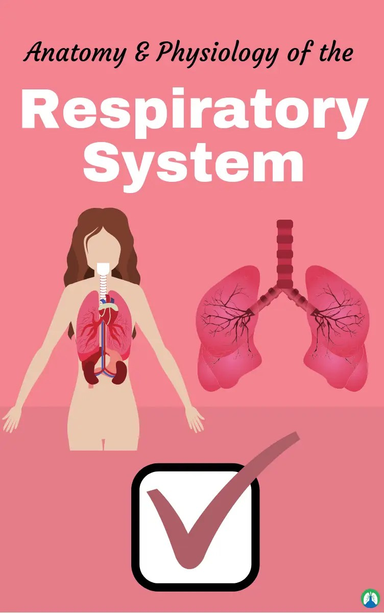 Anatomy and Physiology of the Respiratory System (Practice Questions)