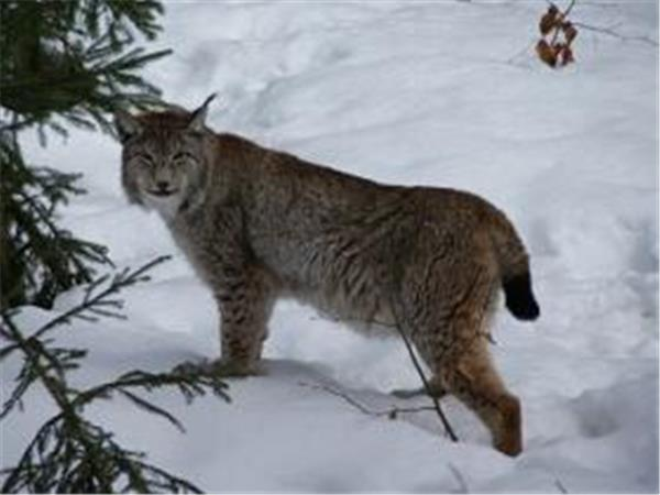 Image result for lynx slovakia