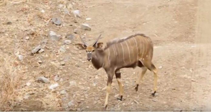 Antelope in Nyika national park