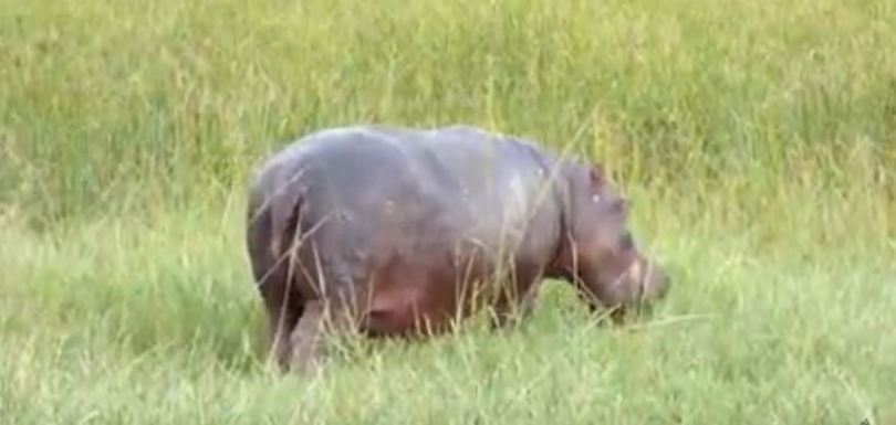 Hippo in Lengwe National Park