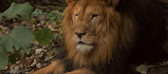 Lion at Majete Wildlife Reserve