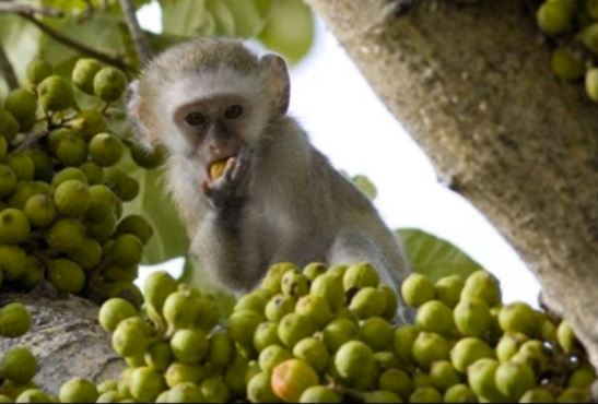 Monkey eating fruits in Salima Forest Reserve