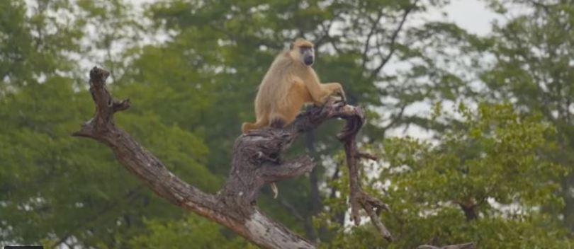 Monkey in Lake Malawi National Park