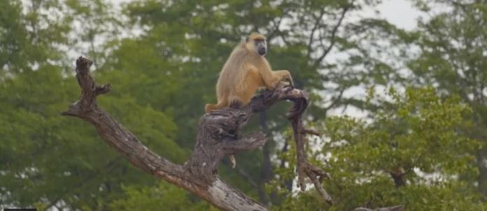 Monkey in Lake Malawi National Park