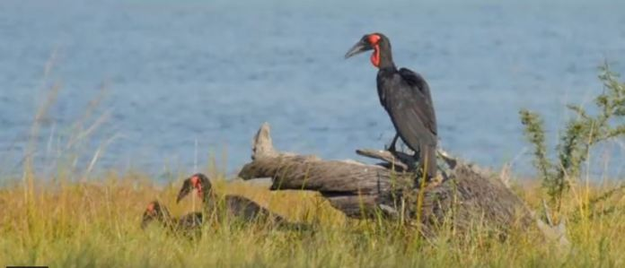 The Black Red Gular Pounch in Lake Malawi National Park