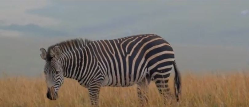 Zebra at Nyika National Park