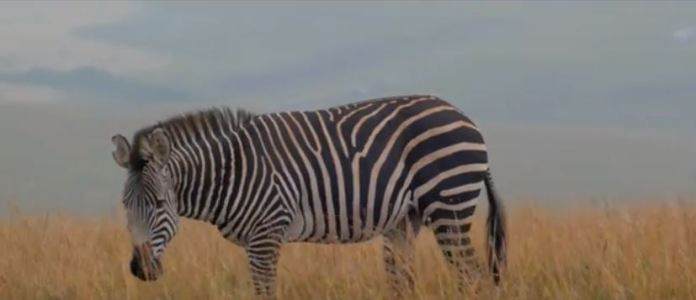 Zebra at Nyika National Park