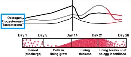 testosterone levels throughout menstrual cycle