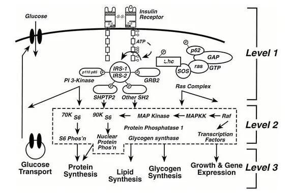 insulin resistance in PCOS