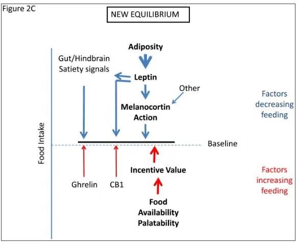 come si sviluppa la resistenza alla leptina