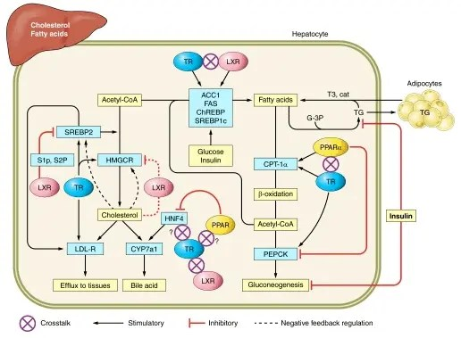 Effects of T3 on liver function and fat break down