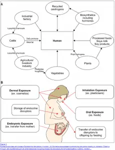 endocrine disruptors and hormone balance in the body