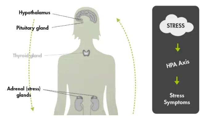 thyroid adrenal gland axis