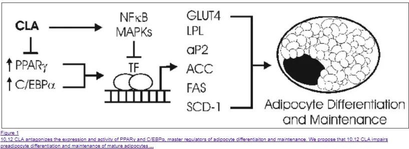 CLA inhibitis adipogenesis