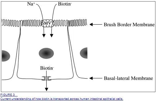 biotin absorption in the intestines