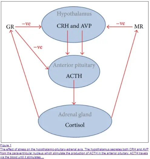 cortisol regulation in the body