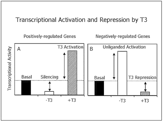 T3 activates genetic transcription at the cellular level