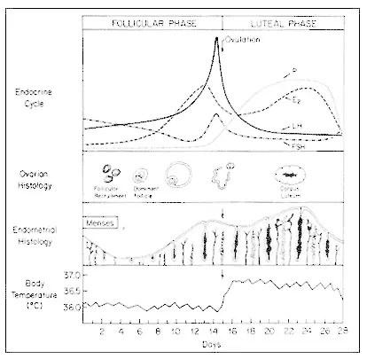 estrogen fluctuation through the menstrual cycle