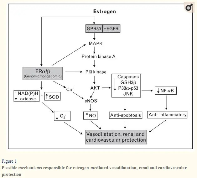 estradiol action on cardiovascular function in women