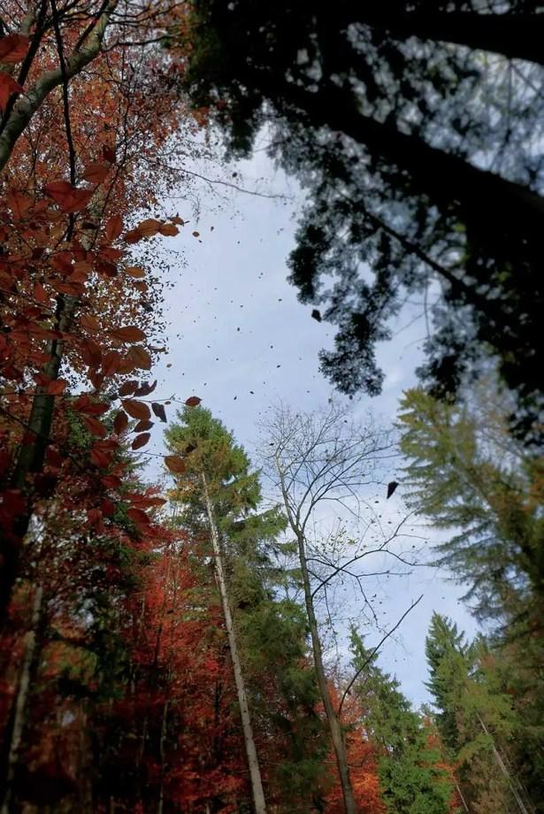 pôvodné borovice lesné