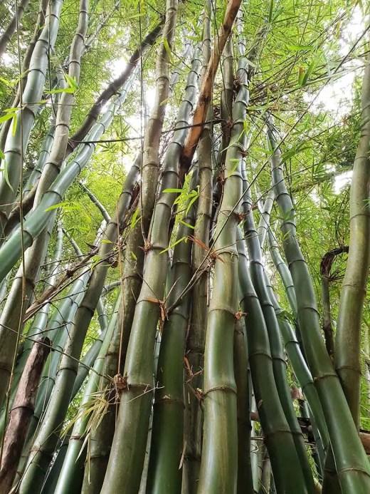 Bambusy, Minca