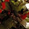 Dulceaţă de coacaze rosii