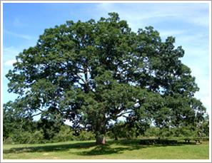 the_big_tree