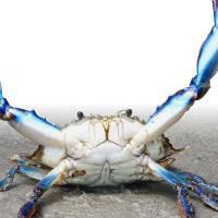 Il Granchio Blu minaccia l'Adriatico. In campo anche l'Università del Salento