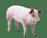 Bicho do dia: Porco