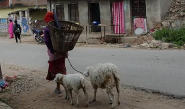 Sheep follow sheep