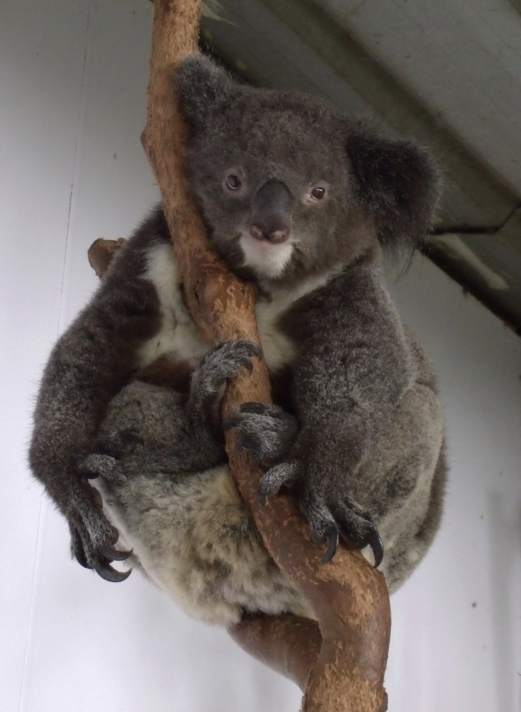 Koala on break!