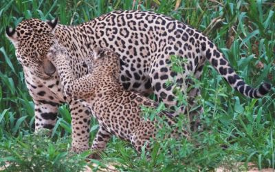Wildlife Photography in the Pantanal Wetlands of Brazil