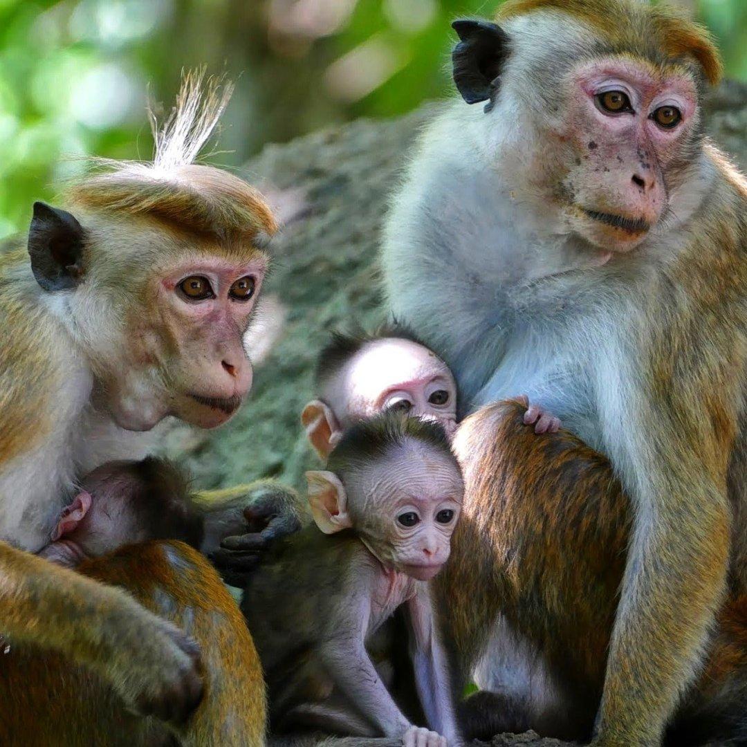 A family of monkeys in Sri Lanka, including 3 newborn baby monkeys