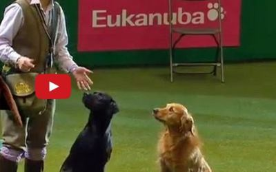 Film from gun dog show at Crufts