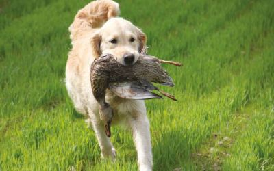 Field Trials for Retrievers