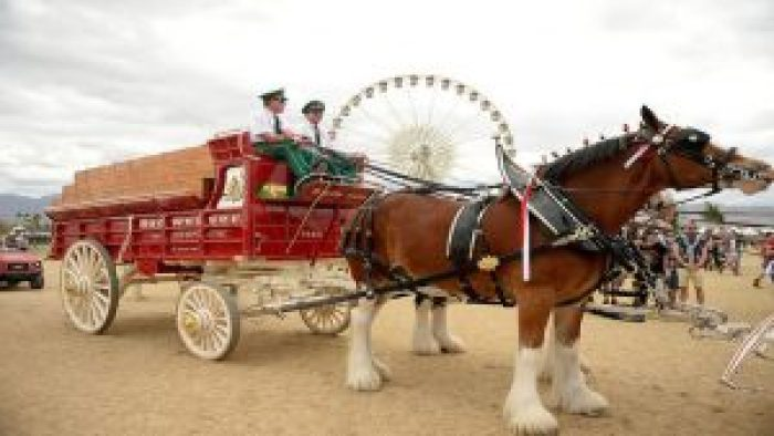 Budweiser Clydesdale horses became a traditional part of Budweiser, the holidays, and the Super Bowl