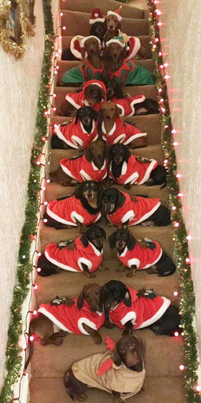 dog owner gets 17 Dachshunds to pose for christmas photo