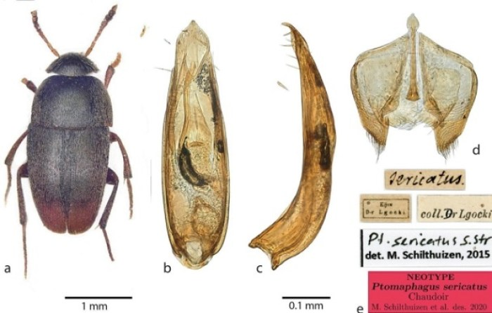 Ptomaphagus thebeatles new species of beetle named after the beatles