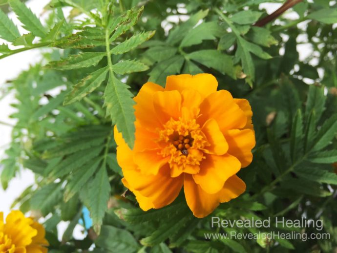 Pixie the Marigold Revealed Healing