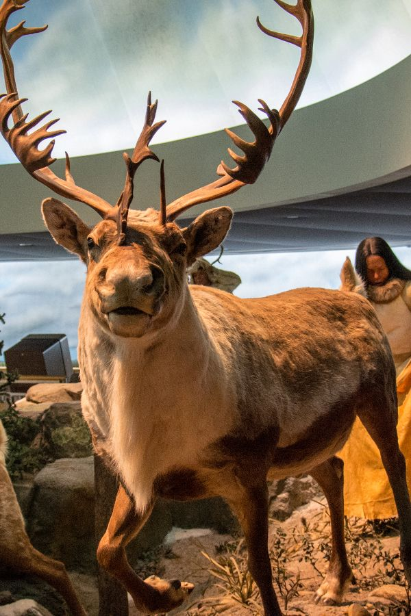 Elk diorama at the Mashantucket Pequot Museum in Connecticut.