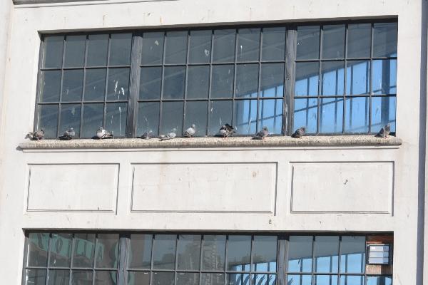 san francisco pigeons